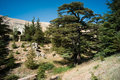 Cedar forest of bcharri mount lebanon cedrus libani is a native tree lebanon aka as the god Royalty Free Stock Photo