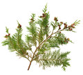 Cedar Leaves Royalty Free Stock Image