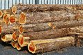 Cedar logs stack of eastern Royalty Free Stock Photo