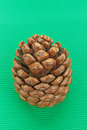 Cedar pine cone trees on green background Stock Photo