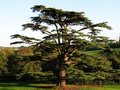 Cedar Tree Royalty Free Stock Photos