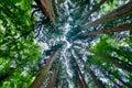 Cedar trees Royalty Free Stock Photo