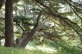 Cedar trees a tree at al arz lebanon Royalty Free Stock Photo