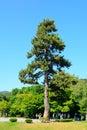 Cedar uji japan tree in Royalty Free Stock Photography