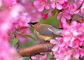 Cedar waxwing this appears to be eating a crab apple tree blossom it breeds in open wooded areas in north america Royalty Free Stock Image