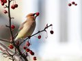 Cedar waxwing bird eating in a crabapple tree on on grey and white background Royalty Free Stock Image