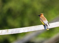 Cedar waxwing a close up Stock Images