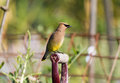 Cedar waxwing a close up Royalty Free Stock Photo