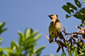 Cedar waxwing looking out over the tree tops tall Royalty Free Stock Photo