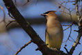 Ceder Waxwing on tree branch Royalty Free Stock Photo