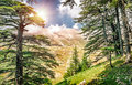 Cedars of Lebanon Royalty Free Stock Photo