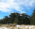 Cedars of the lord lebanon cedar trees forest in against a blue sky Stock Photos