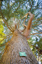 Cedrus locate in botanic garden christchurch new zealand Royalty Free Stock Photography
