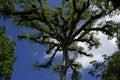 Ceiba tree in Tikal archeological park Royalty Free Stock Photo
