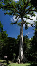 Ceiba tree in tikal archeological park yaaxché mayan few centuries old national guatemala's national Stock Photo