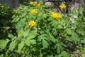 Celandine, Chelidonium, Yellow Flower, Natural Medical Herb Royalty Free Stock Photo