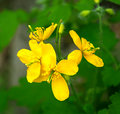 Celandine flower Royalty Free Stock Images