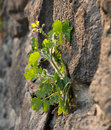Celandine flower chelidonium mahus on a stone wall Stock Images