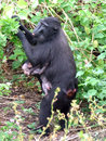 Celebes crested black macaque and baby mother in tangkoko national park in the minahasa in north sulawesi indonesia Stock Photo