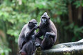 Celebes crested macaque a pair of macaques macaca niger sit atop a tree at the singapore zoo these indonesian monkeys are Royalty Free Stock Images