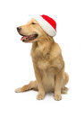 Celebrate with golden retriever your christmas cute isolated in white background clipping path Royalty Free Stock Images