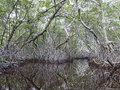 Celestun Mangrove Swamp Royalty Free Stock Photo