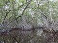 Celestun Mangrove Swamp Royalty Free Stock Photo