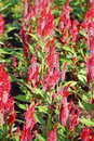 Celosia plumed celosia wool flower red fox in the garden Stock Image