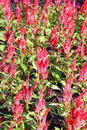 Celosia plumed celosia wool flower red fox in the garden Royalty Free Stock Image