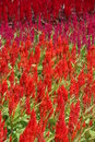 Celosia plumed celosia wool flower red fox in the garden Stock Photos