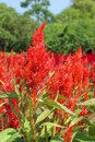 Celosia plumed celosia wool flower red fox in the garden Stock Photo