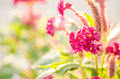 Celosia or wool flowers or cockscomb flower in the garden nature park Stock Photography