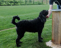 Portuguese Water Dog - Animal ...