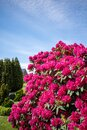 On cemetery stands a huge rhododendron with red flowers and the sky is blue Royalty Free Stock Photo