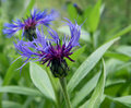 Centaurea Stock Photos