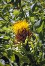 Bighead knapweed plant Royalty Free Stock Photo