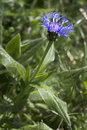 Centaurea montana flower in the german alps Royalty Free Stock Images