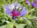 Centaurea montana (mountain Cornflower) Royalty Free Stock Photo