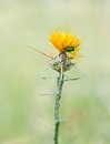 Centaurea solstitialis yellow star thistle with cetonia aurata a member of the family asteraceae native to the mediterranean basin Royalty Free Stock Photo