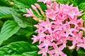 Centaurium erythraea Royalty Free Stock Photo