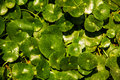 Centella asiatica background green in the garden Stock Images