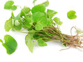 Centella asiatica plant which is said to have many medicinal properties Royalty Free Stock Photo