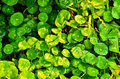 Centella asiatica you to use everything Royalty Free Stock Image