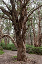 Centennial Park in Sydney, Australia. Old Tree Royalty Free Stock Photo
