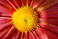 The center of an annual cosmos flower close up view pink Royalty Free Stock Images