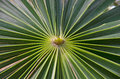 Center of palm frond close up the a Stock Images