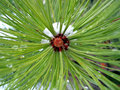 Center pine zone Royalty Free Stock Photo