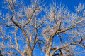 Center of Tree with Many Bare Branches Royalty Free Stock Photo