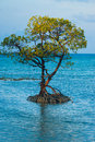 Centered Solitary Mangrove Tree Roots Ocean Royalty Free Stock Photo