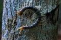 Centipede on tree bark Royalty Free Stock Photo